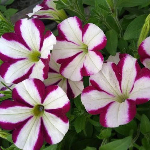 Petunia Pac® Prettytoonia® Cassis Star